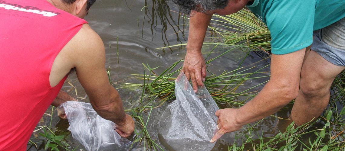 Antes do contato com a água do lago, eles passam por uma espécie de ambientação - Ascom/PMVNI